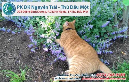 7 cây gia vị giúp xua đuổi muỗi - cây bạc hà mèo