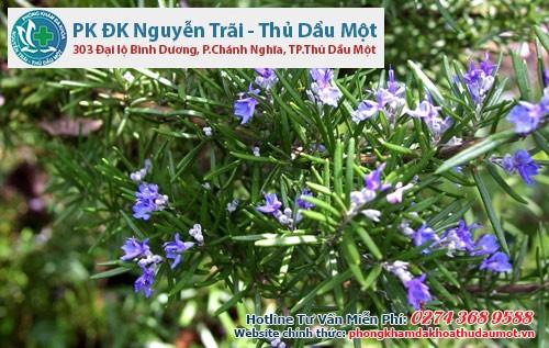 7 cây gia vị giúp xua đuổi muỗi - cây cỏ xạ hương